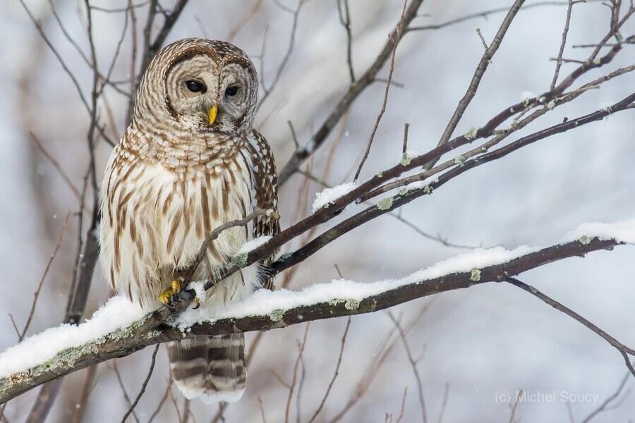Barred Owl on a Snowy Branch  Print