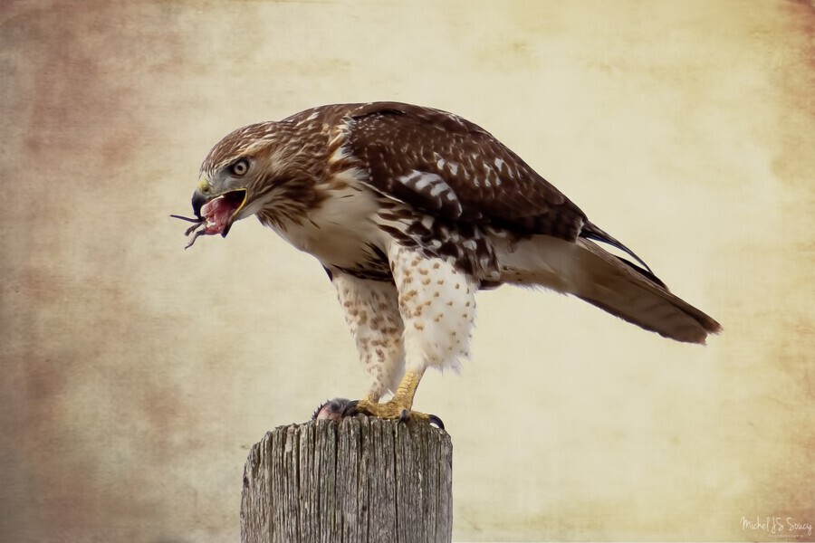 Meal Time for a Hawk  Print