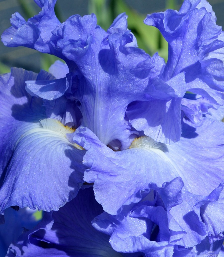 Metoleus Blue Bearded Iris  Print
