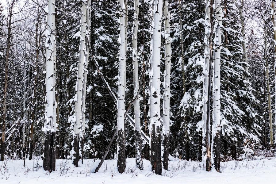 Aspens Snow Blanket Banff National Park  Print