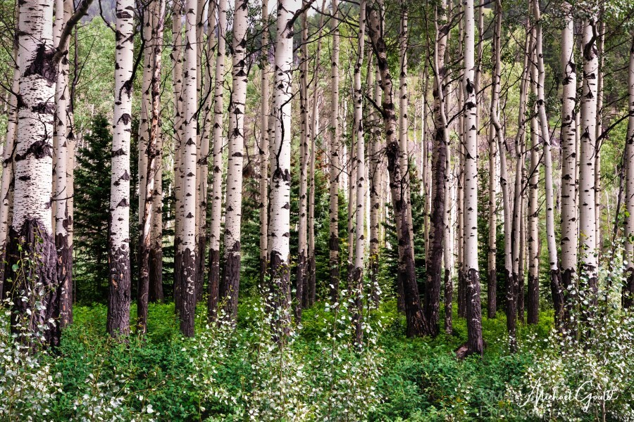 Aspens In Banff National Park at Muleshoe  Print