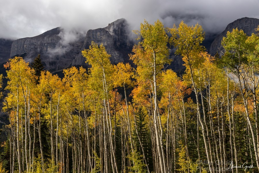 Aspens In Fall Banff National Park  Print