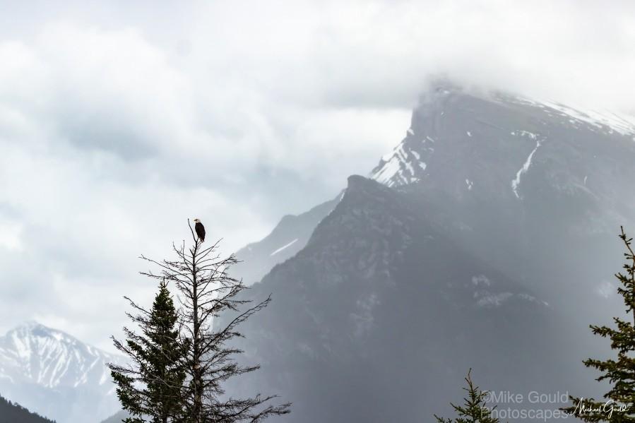 Bald Eagle In Banff National Park  Print