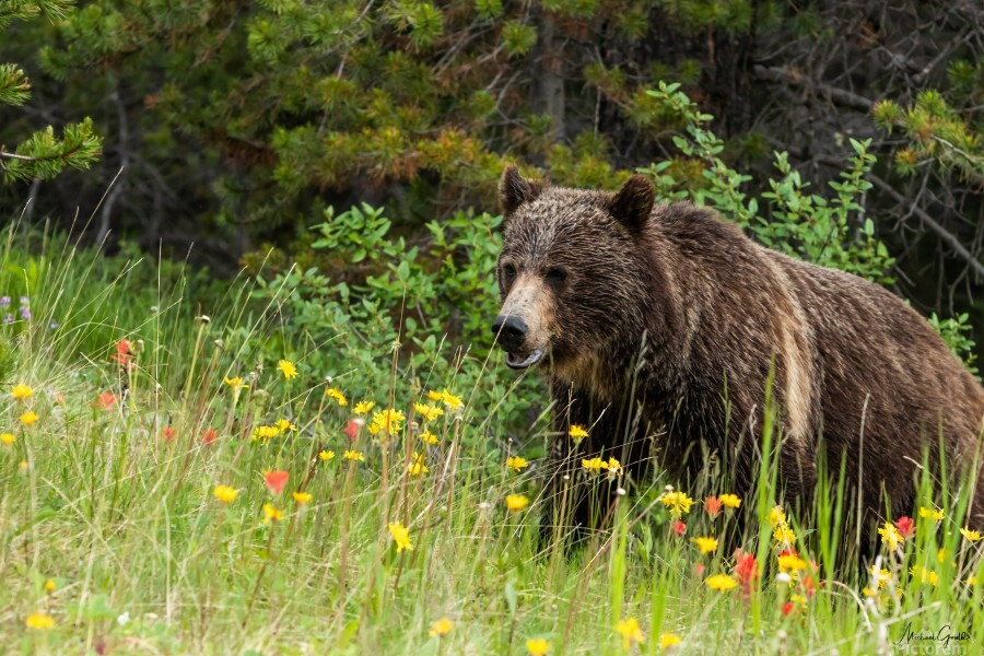 Grizzly Bear Sow 142  IMG_5130  Print