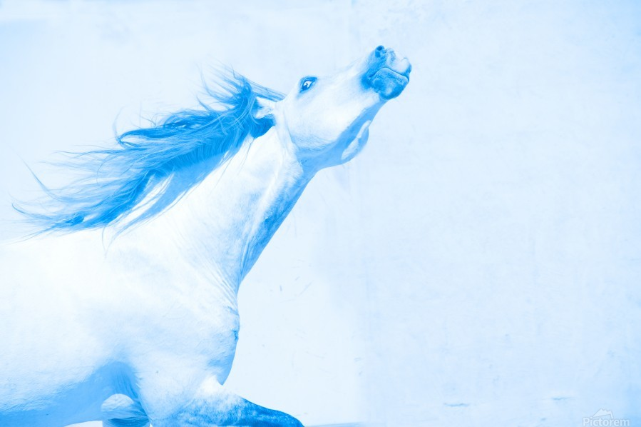 Blue Andalusian Horse 4  Print