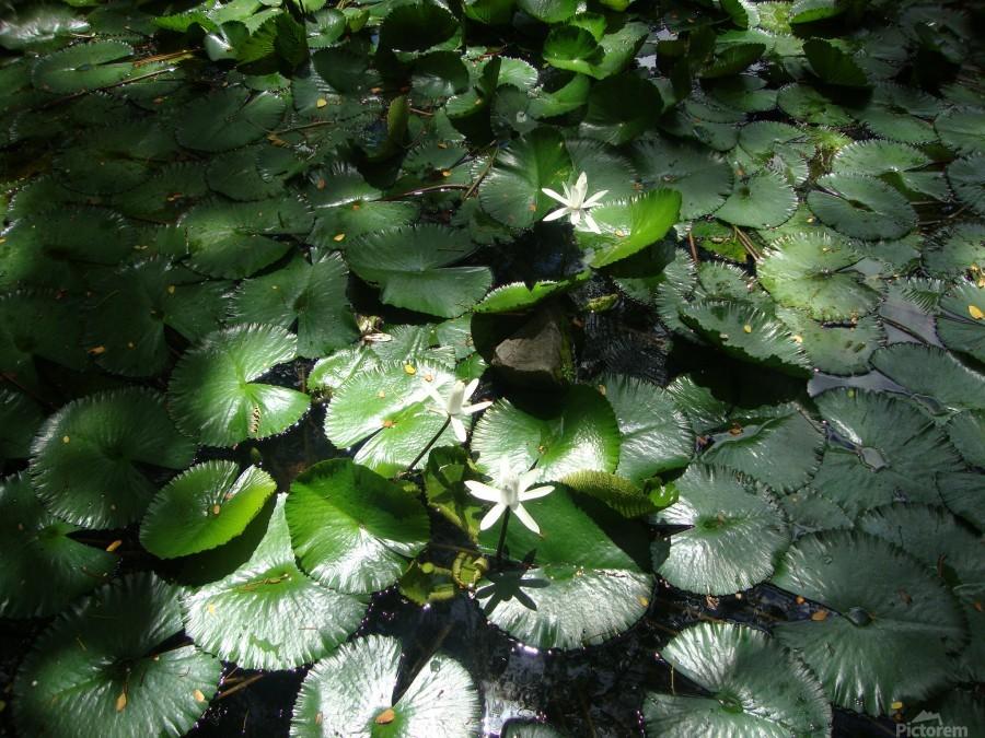 Lotus in the Sunlight  Print
