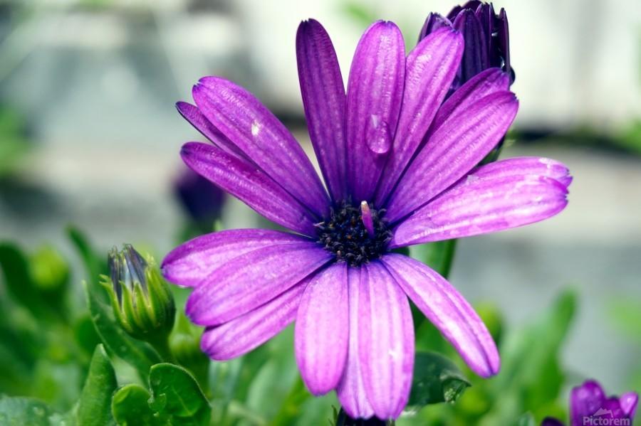 Waterdrop On Purple Flower  Print