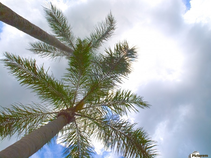 HDR Palm trees looking up against a cloudy sky  Print