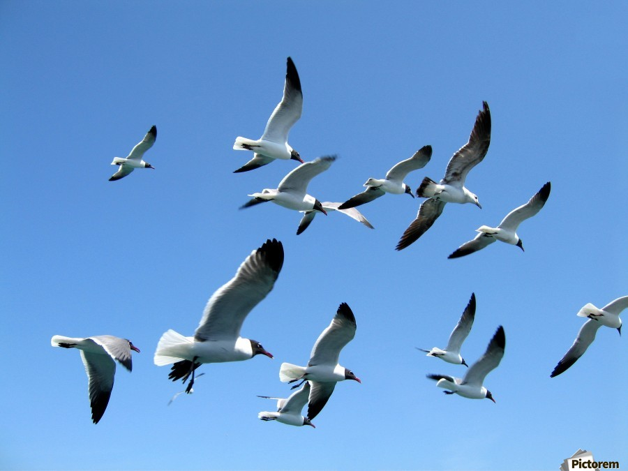 Seagulls against a clear blue sky  Print