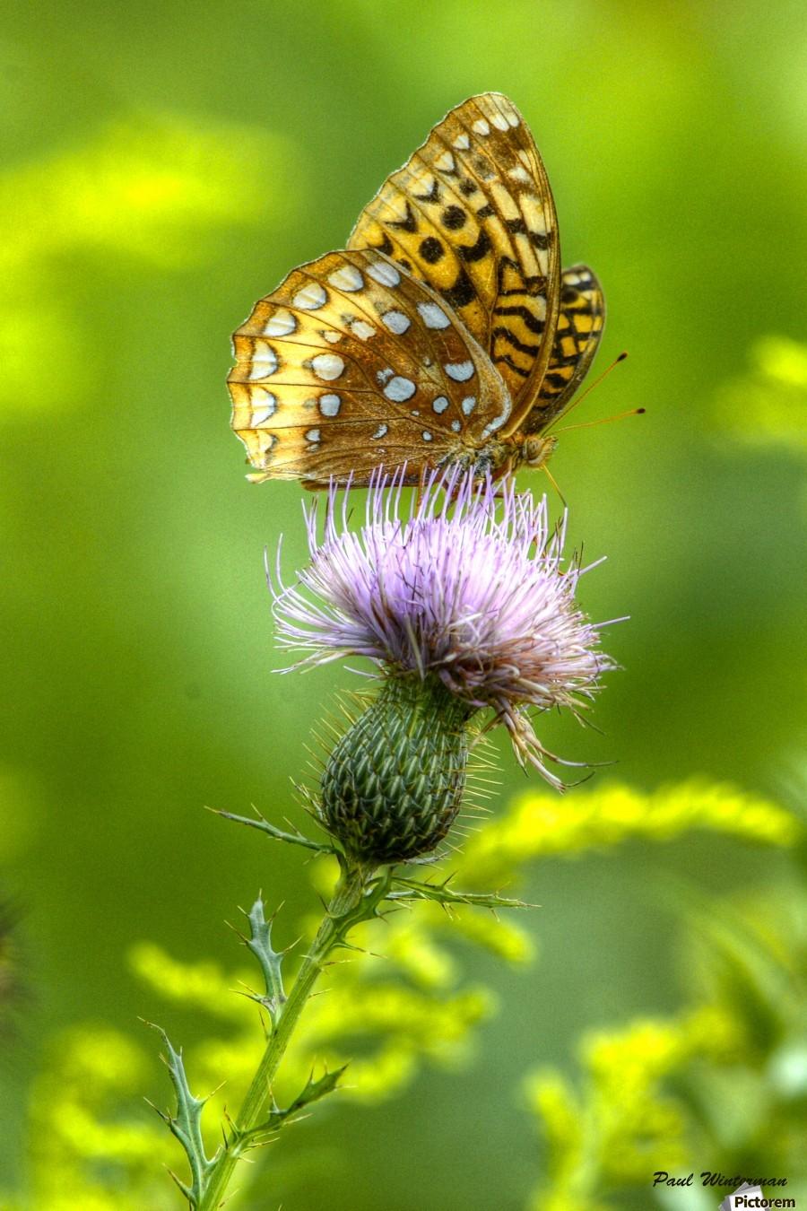 Thistle Nectar  Print