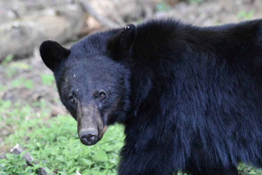 2350- black bear  Print