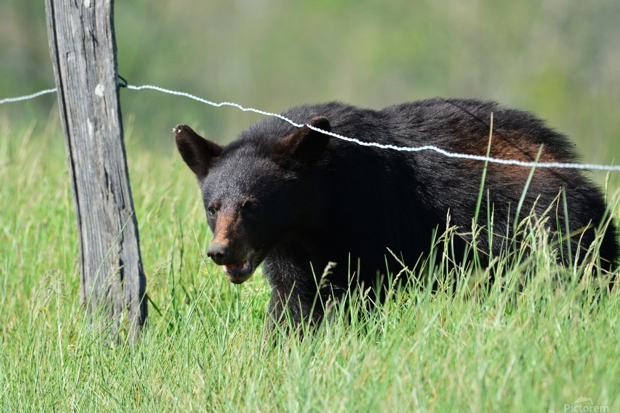 2966-Black Bear  Print