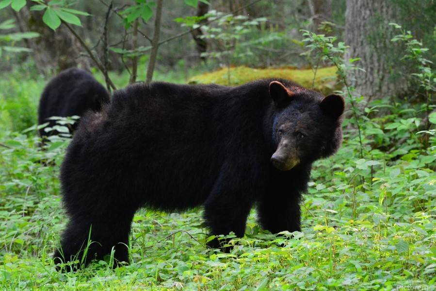 3299-Black Bear  Print