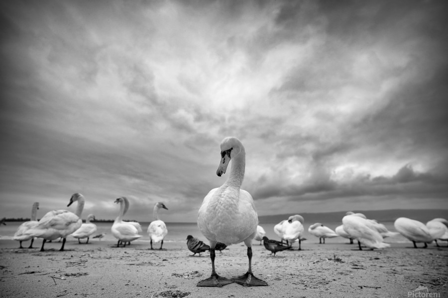 Swans on a winter beach  Print