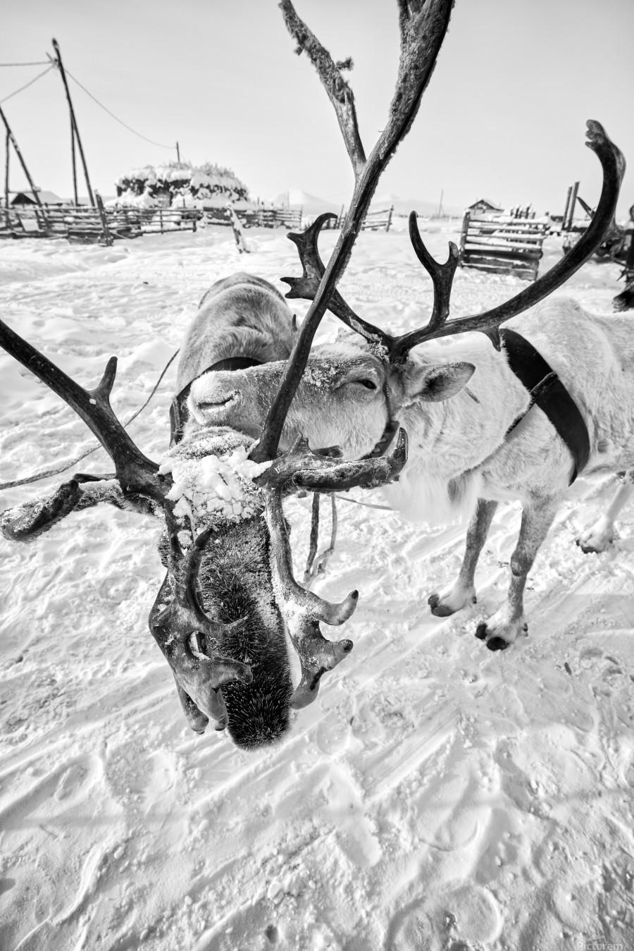 Evenki Reindeer Herding  Print