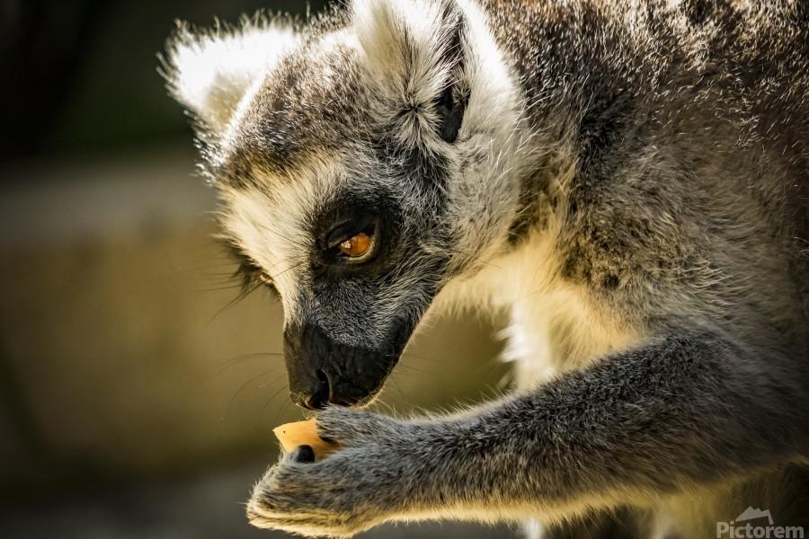 Ring-tailed lemur  Print