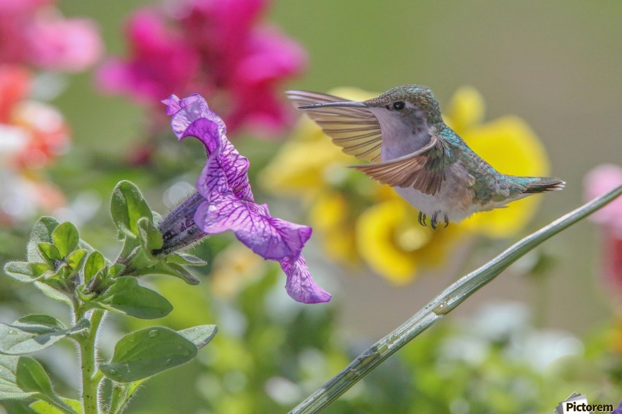 Humming Bird Purple Flower Photo by Jason Andrew Smith  Print