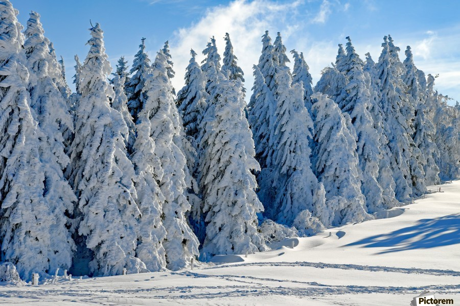 Snow  Crusted Trees Rocky Mountains  Print