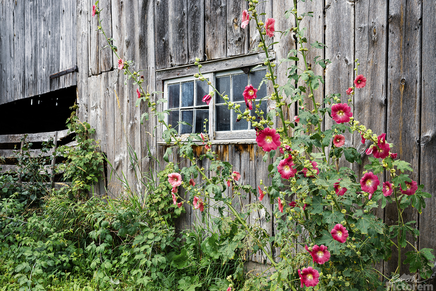 Roses tremieres embellies par une vieille grange - Hollyhocks embellished by an old barn  Print