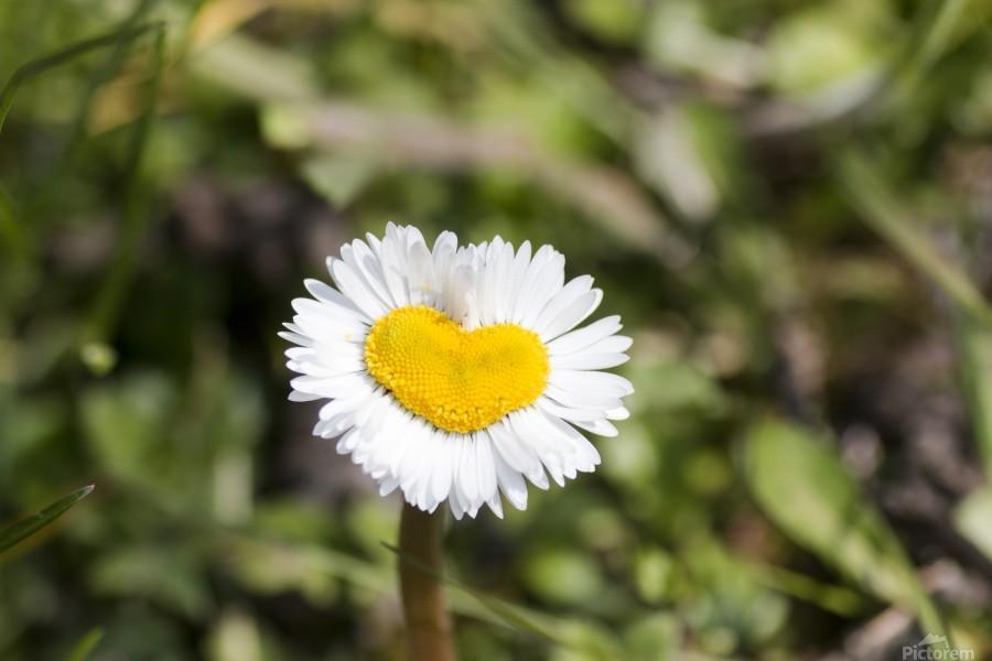 Heart shaped daisy  Print