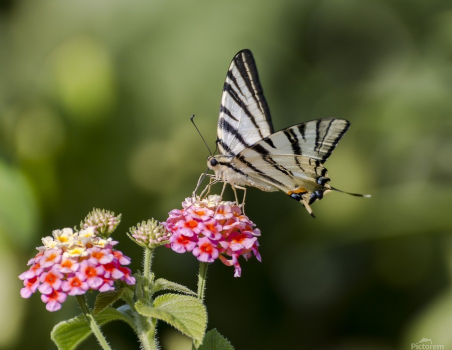 Scarce swallowtail butterfly  Print