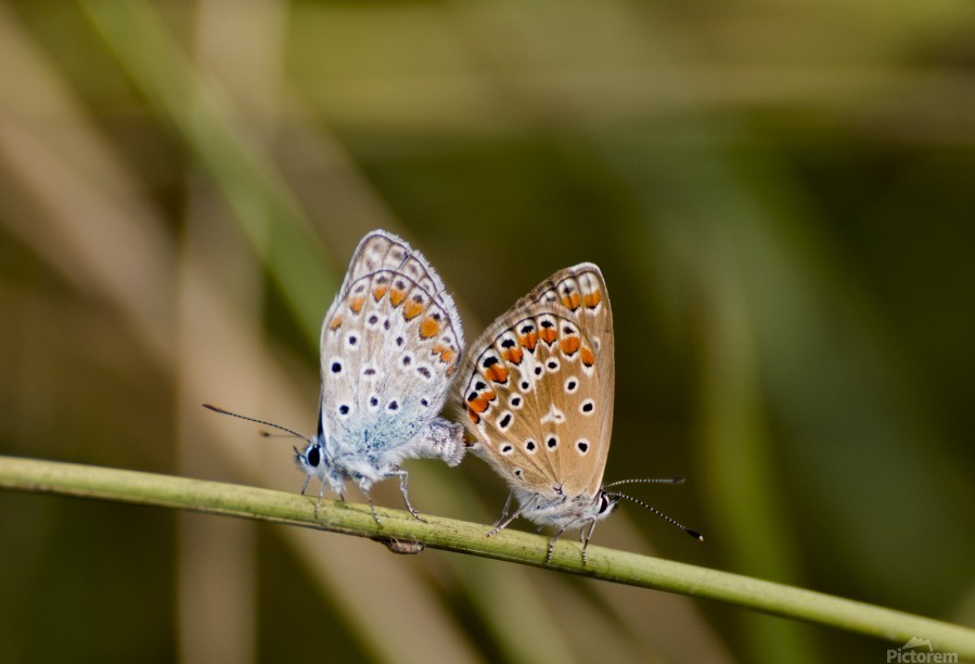 Coupling of common blue  Print
