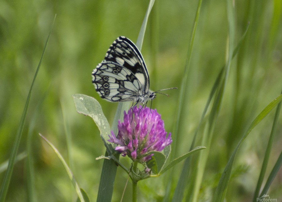 Marbled white  Print