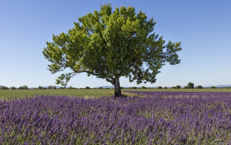Tree in a lavender field  Print