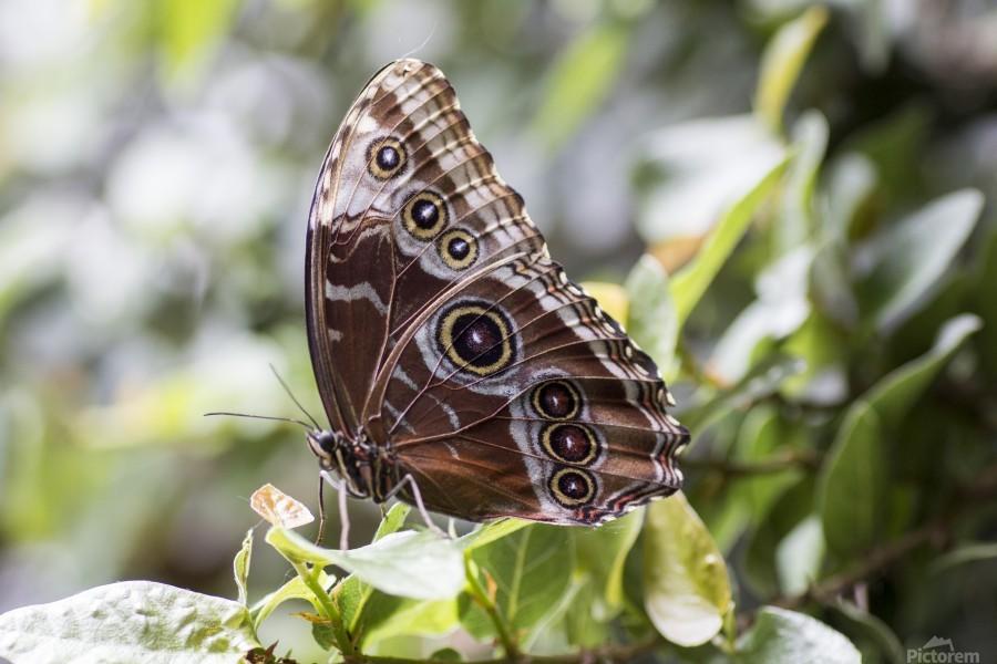 Morpho peleides butterfly  Print