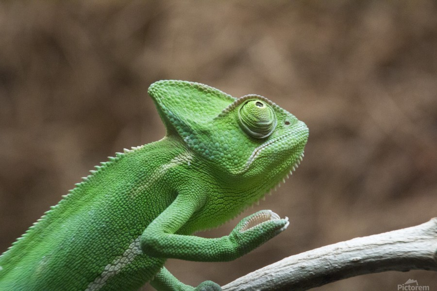 Funny pose of a chameleon  Print