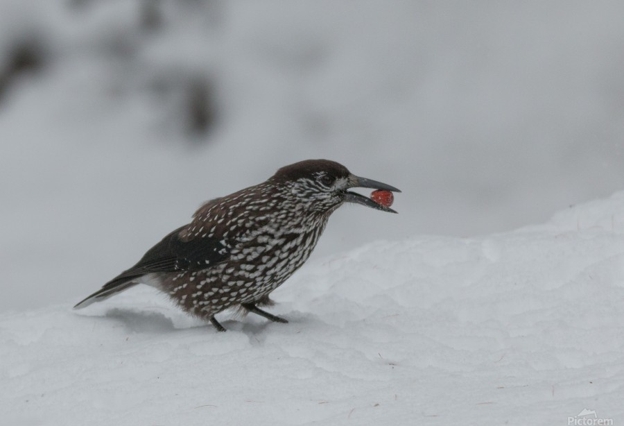 Spotted nutcracker in the snow  Print