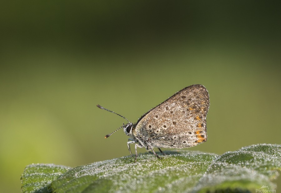 Lycaena tytirus butterfly  Print
