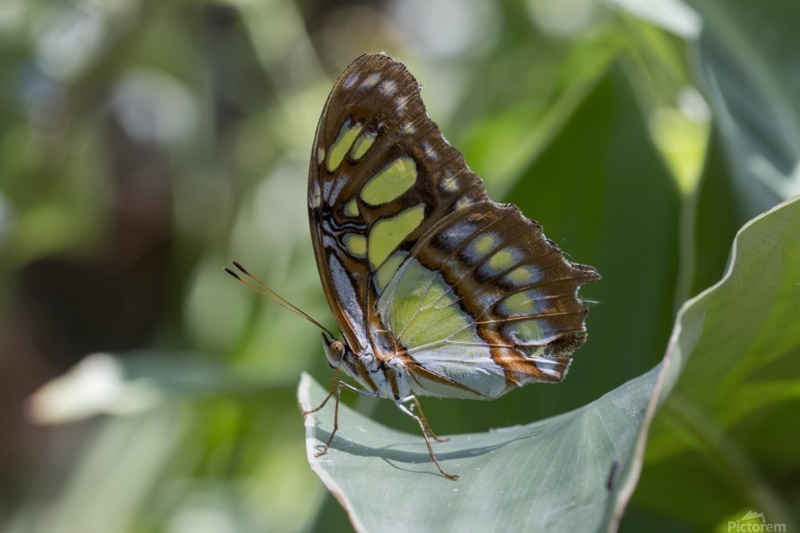 Malachite butterfly  Print