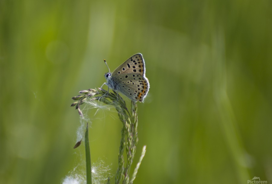 Common blue butterfly  Print