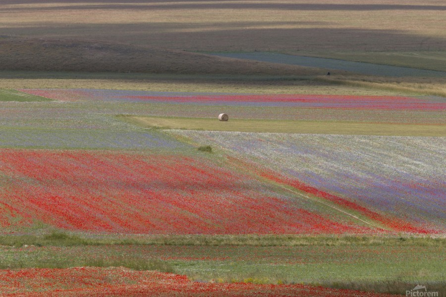 La fioritura di Castelluccio  Print