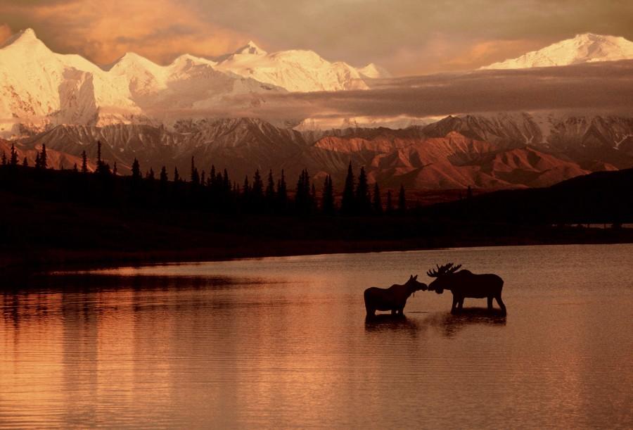 Moose Kissing  Print