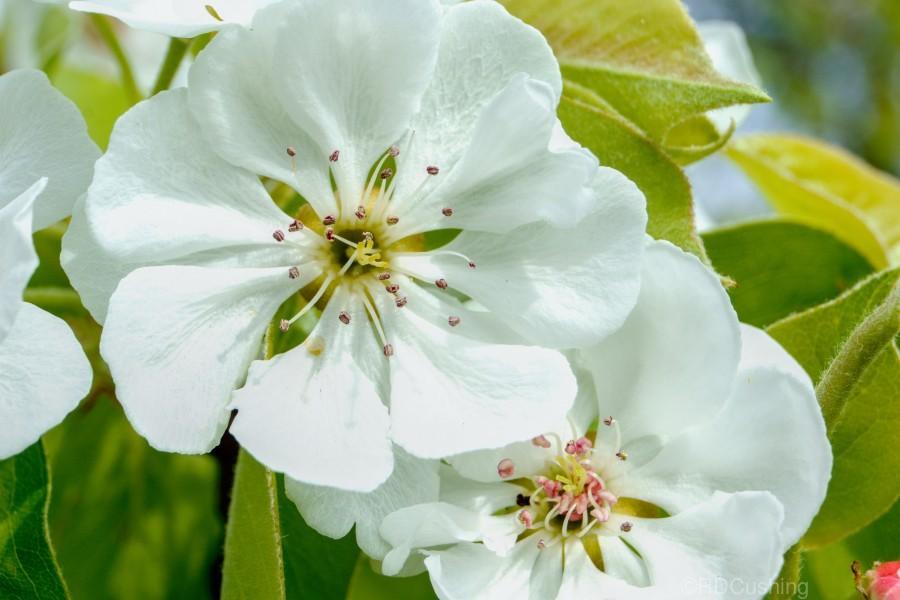 Pear Blossom - No. 1  Print
