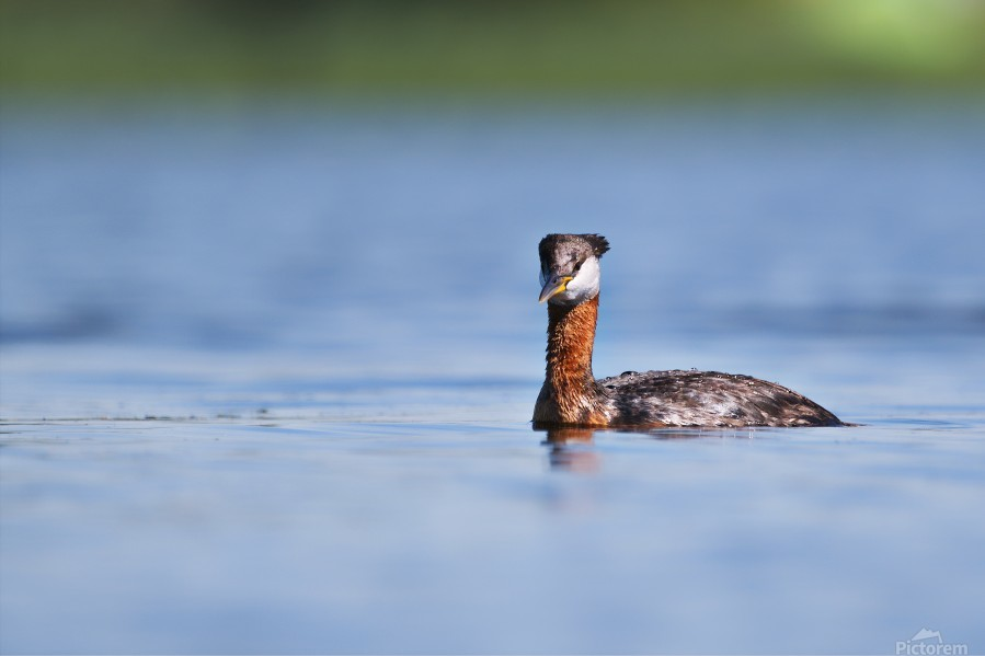 RED NECKED GREBE  Print