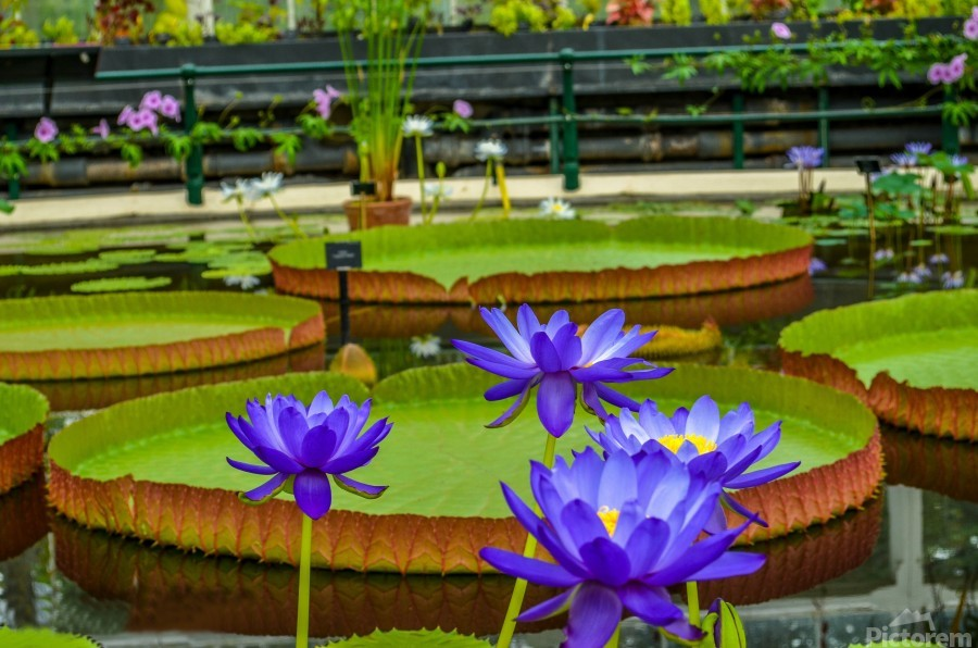 Purple water lily in a pond  Print