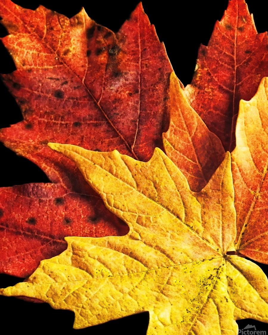Fall Maple Leaves 2  Print