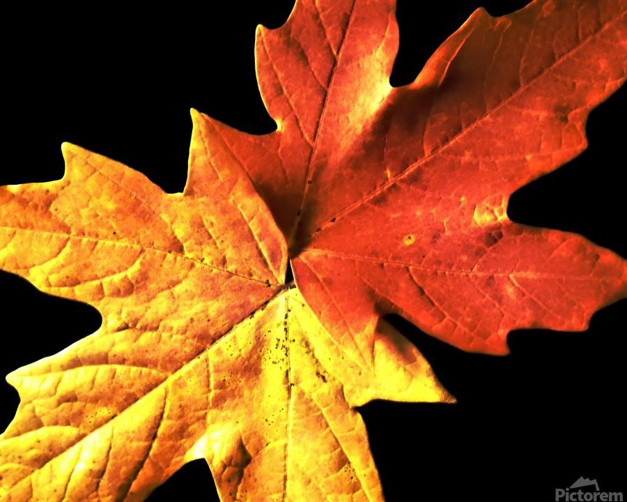 Fall Maple Leaves 3  Print