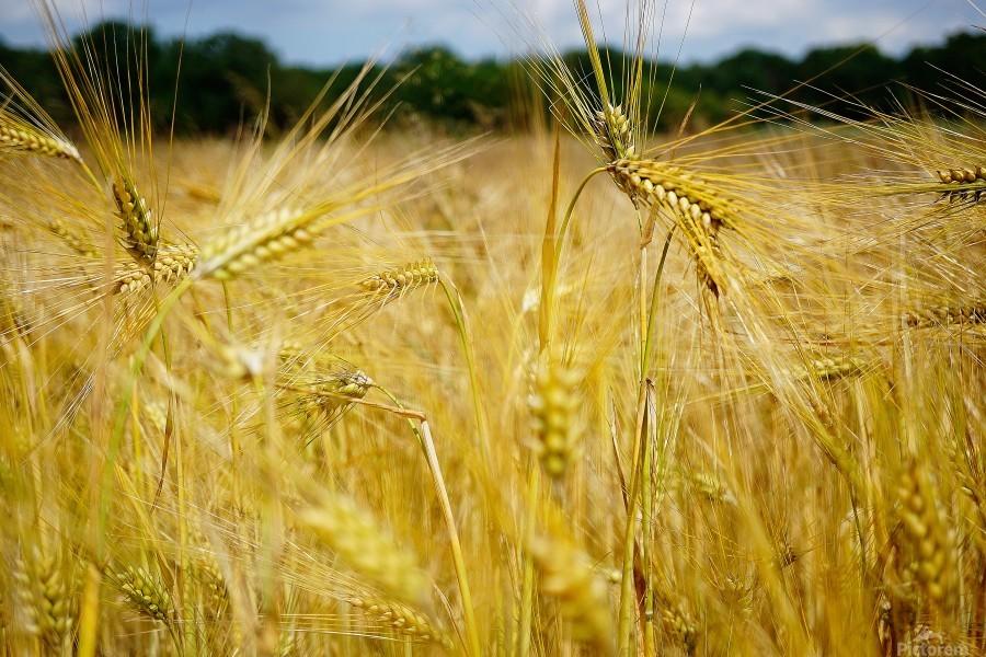 Corn Cob Landscape 06  Print
