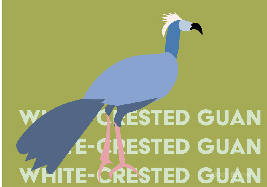 White-Crested Guan  Print