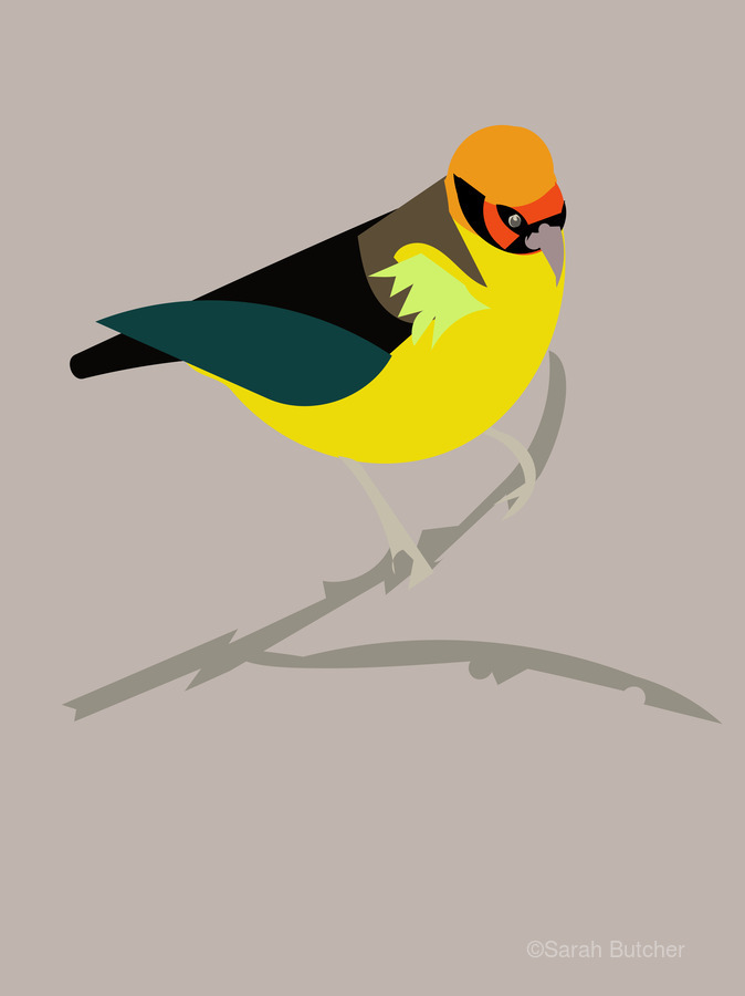 Black Eared Tanager  Print