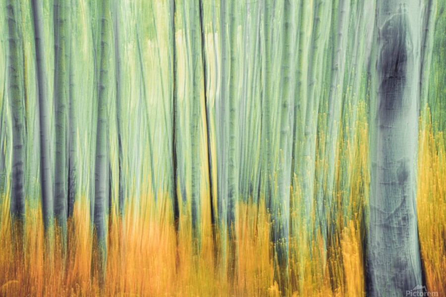 Aspen Trees in movement  Print