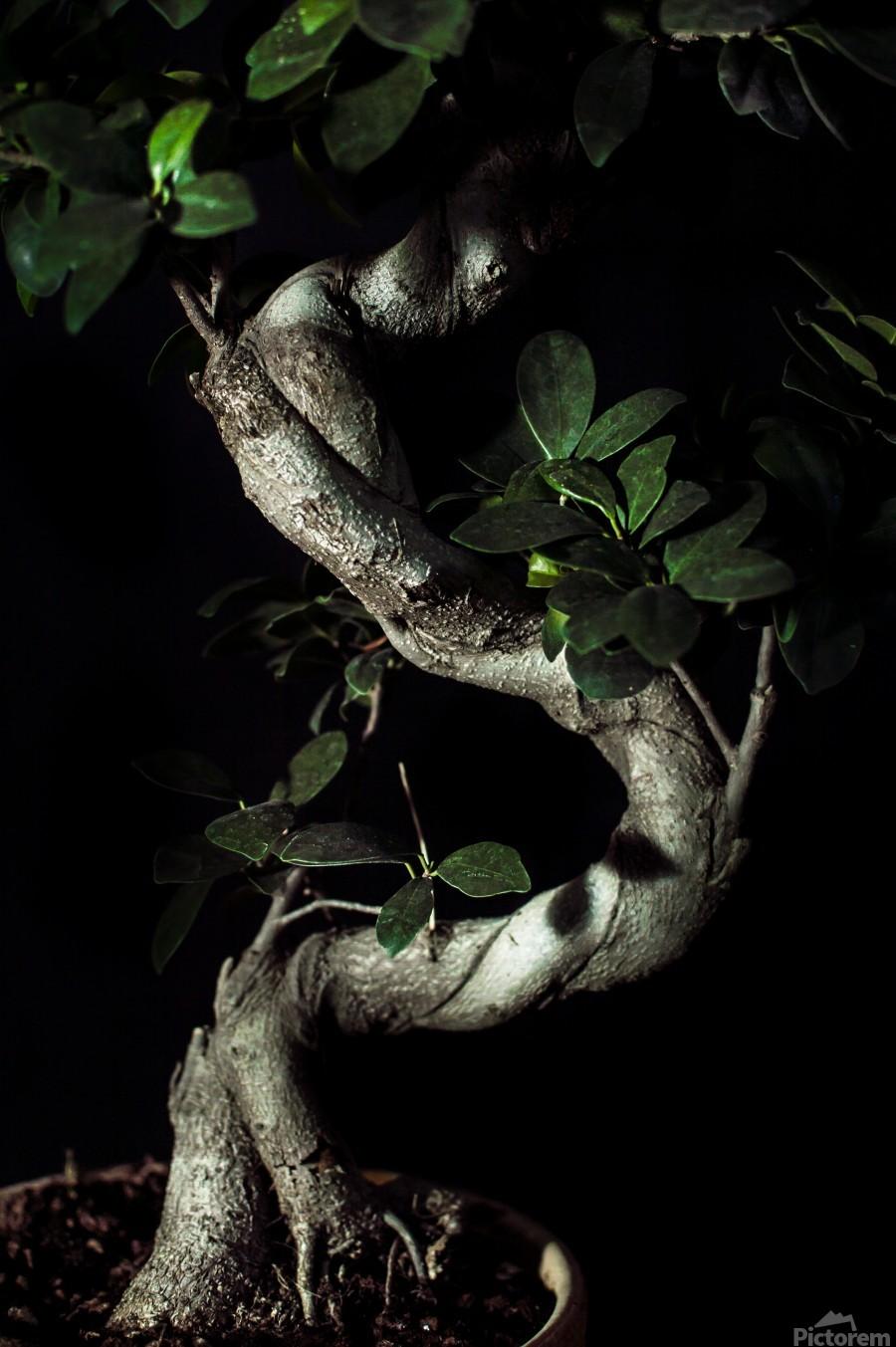 old bonsai black background  Print