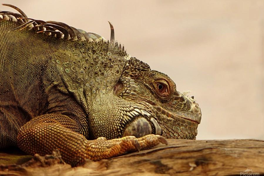 animal reptile lizard iguana  Print