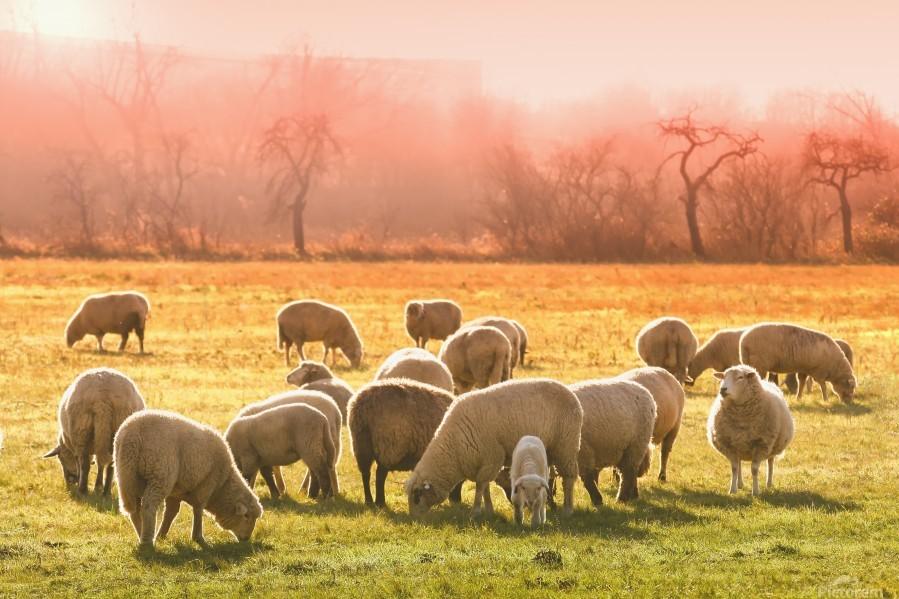 animal sheep flock of sheep meadow  Print