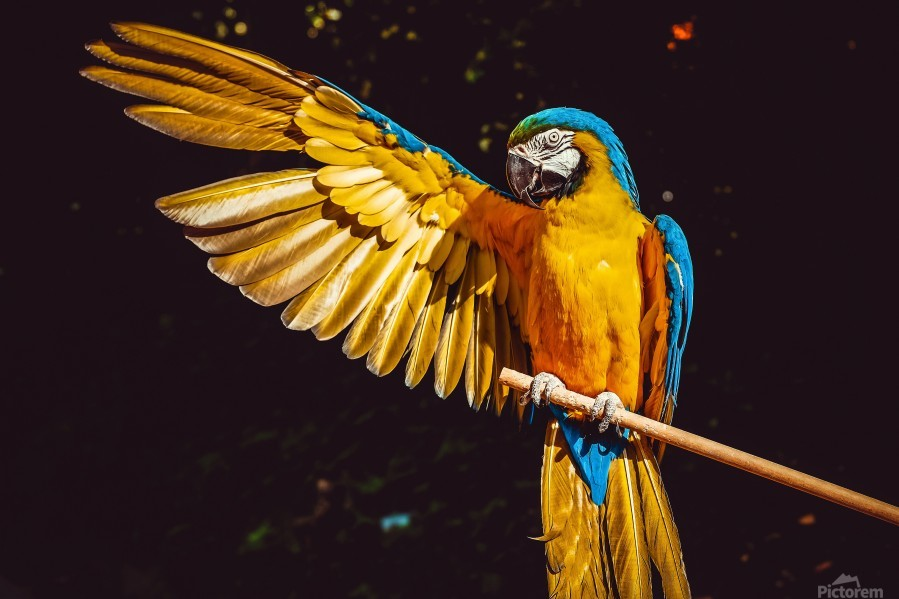 ara parrot yellow macaw bird  Print