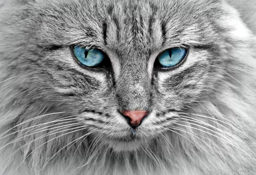cat animal cat portrait mackerel  Print